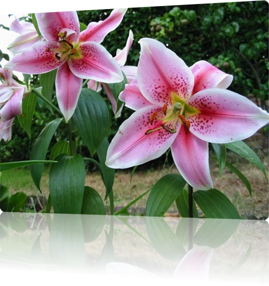 Vign_15337239_1511_orchidees_h104625_l